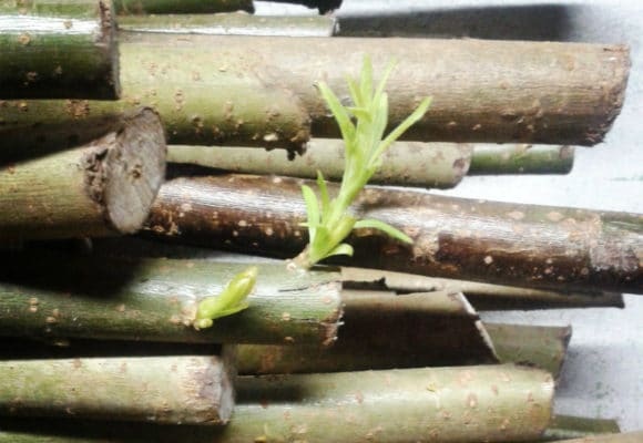 willow fencing rods